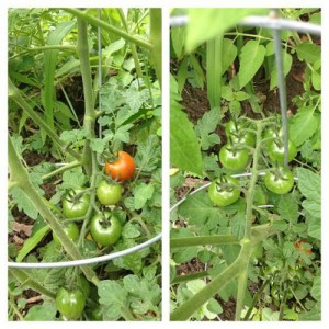 Wee tomatoes.
